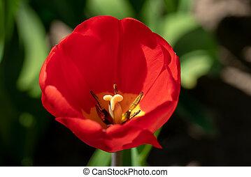 a, rote tulpe, steht, vor, a, tulpe feld