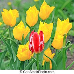 a, rote tulpe, und, gelber , tulpen, hinten, auf, der, feld