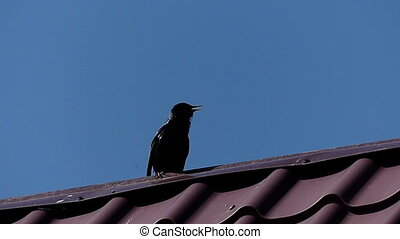 A rough rook sits on a metallic roof on a sunny day in...