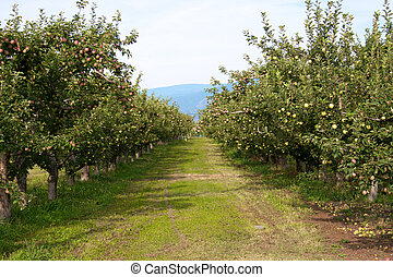 A row of apple trees in an orchard