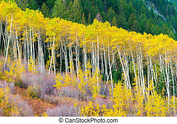A row of aspen trees in the peak of the Fall colors - A...