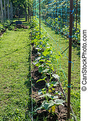A row of green cucumber plants. Cucumbers grow in the open ground