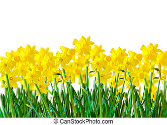 A row of bright Yellow Daffodils