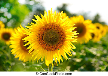 A row of yellow organic sunflowers