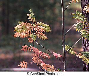 A Rowan branch in the autumn