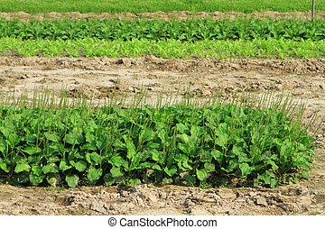 a Rows of plants in a farmers field