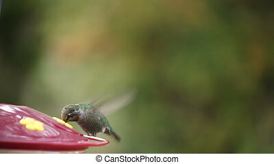 hummingbird pauses - a ruby-throated hummingbird pauses...