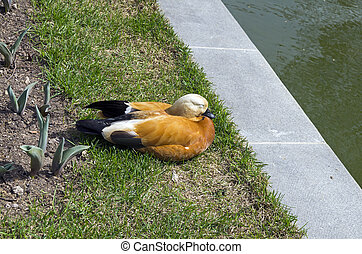 A ruddy shelduck sleeping on the shore of a pond.