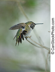 A Rufous Hummingbird stretching its wings and tail feathers ...