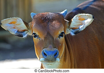 a ruminant is looking at - a ruminant