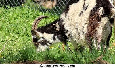 white adult goat eat the grass