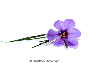 a saffron flower isoalted on a white background