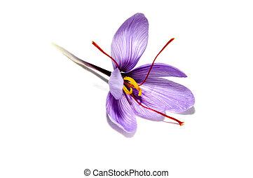 saffron flower - a saffron flower isoalted on a white ...