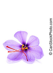 a saffron flower on a white background