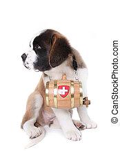 A Saint Bernard puppy with rescue barrel around the neck - ...
