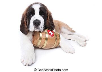 A Saint Bernard puppy with rescue barrel around the neck -...