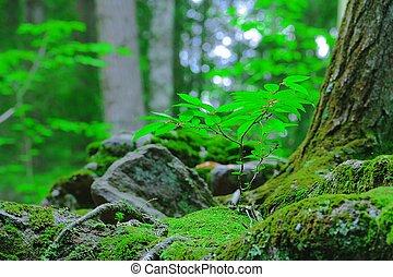 a, saling, wachsen, in, moos, in, der, wälder