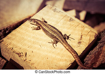 A Sand lizard on some wood in the sun