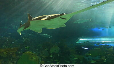 A sawtooth shark swims with fish