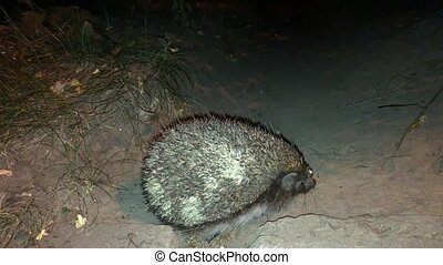 hedgehog during the night escapade. Closeup shot, 4k