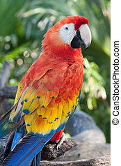 A Scarlet Macaw posing at Xel-ha Park in Mexico.
