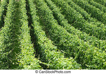A scene of vine plants in a winery