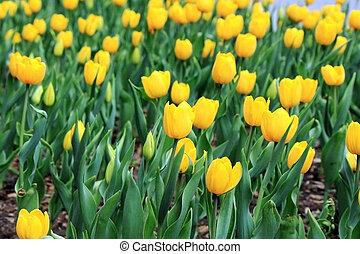 a, schöne , gelbe tulpe, feld, in, fruehjahr