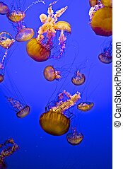 A school of bright coral colored Jellyfish are floating in deep blue water.