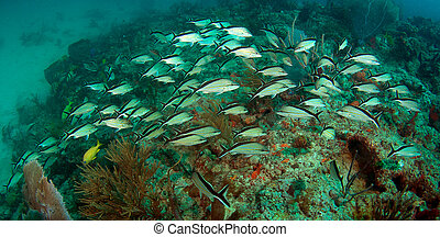 A school of Cottonwick Grunts swimming over a coral reef.
