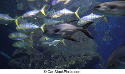 A school of fish with yellow tails and fins. Tropical fish swims in blue water
