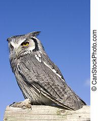Owl - A Scops Owl perching on a log