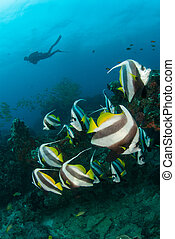 A SCUBA diver with a shoal of fish