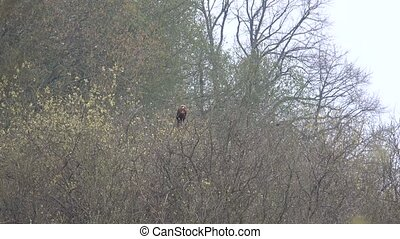 A sea eagle sits on a tree looking for food