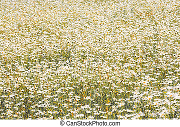 A sea of daisy flowers in a summer meadow in vintage style