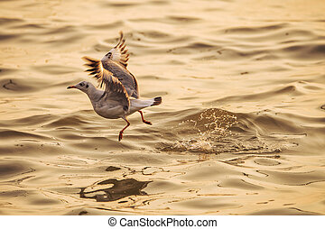 A seagull is taking off from the water