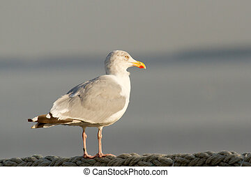 A seagull on the watch