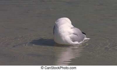 A seagull on water shot
