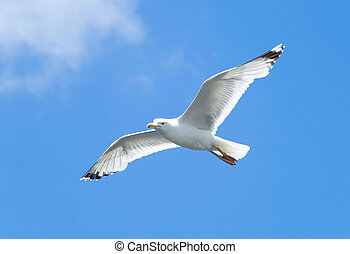 seagull - A seagull, soaring in the blue sky