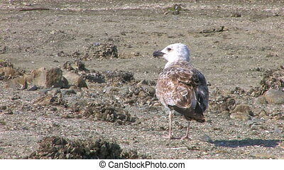 A seagull walking on the beach,