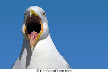 A seagull with its mouth wide open.