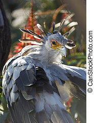 A secretary bird portrait with beatiful plumage