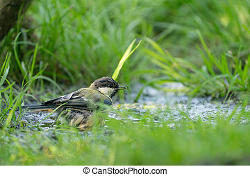 A selective focus shot of a great tit bird in the water. Surrounded by grass