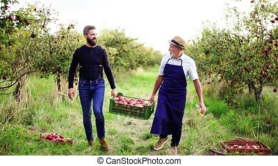 A senior man with adult son carrying apples in orchard in...