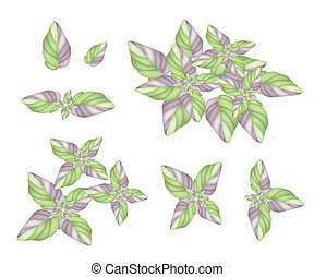 A Set of Acanthaceae Plant on White Background