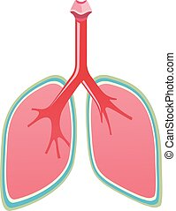 A set of healthy lungs