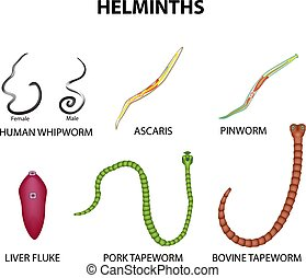 A set of helminths. roundworm, Ascaris, pinworms, bovine tapeworm, pork tapeworm, Whipworm, liver fluke. Infographics Vector illustration on isolated background