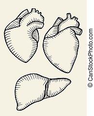 A set of human hearts