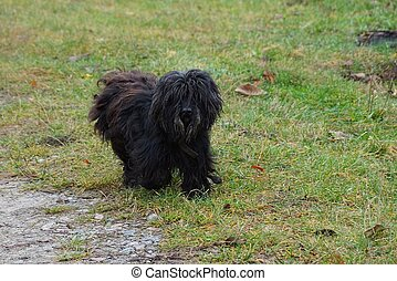 A shaggy beautiful dog runs along the grass in the courtyard