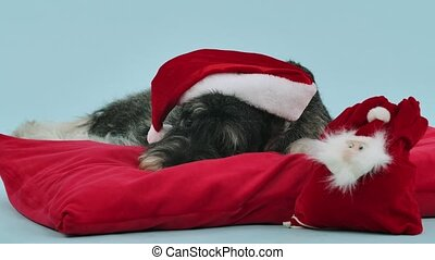 A shaggy mittelschnauzer in the red hat of Santa Claus lies on a red pillow in the studio against a bluish background. There is a red Santa bag for gifts near the pet. Advertising concept suitable for Christmas promotion. Slow motion. Close up.