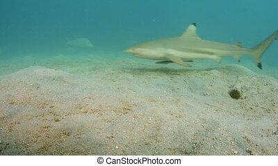 A shark swimming and a black fish eats a fish tail - An...